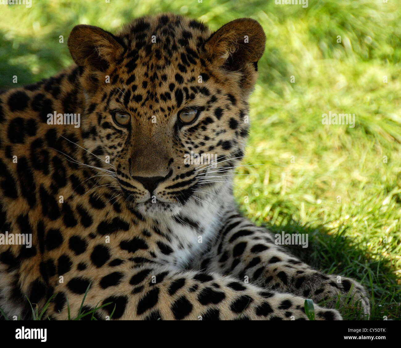 Close up of young Amur Leopard - Stock Image