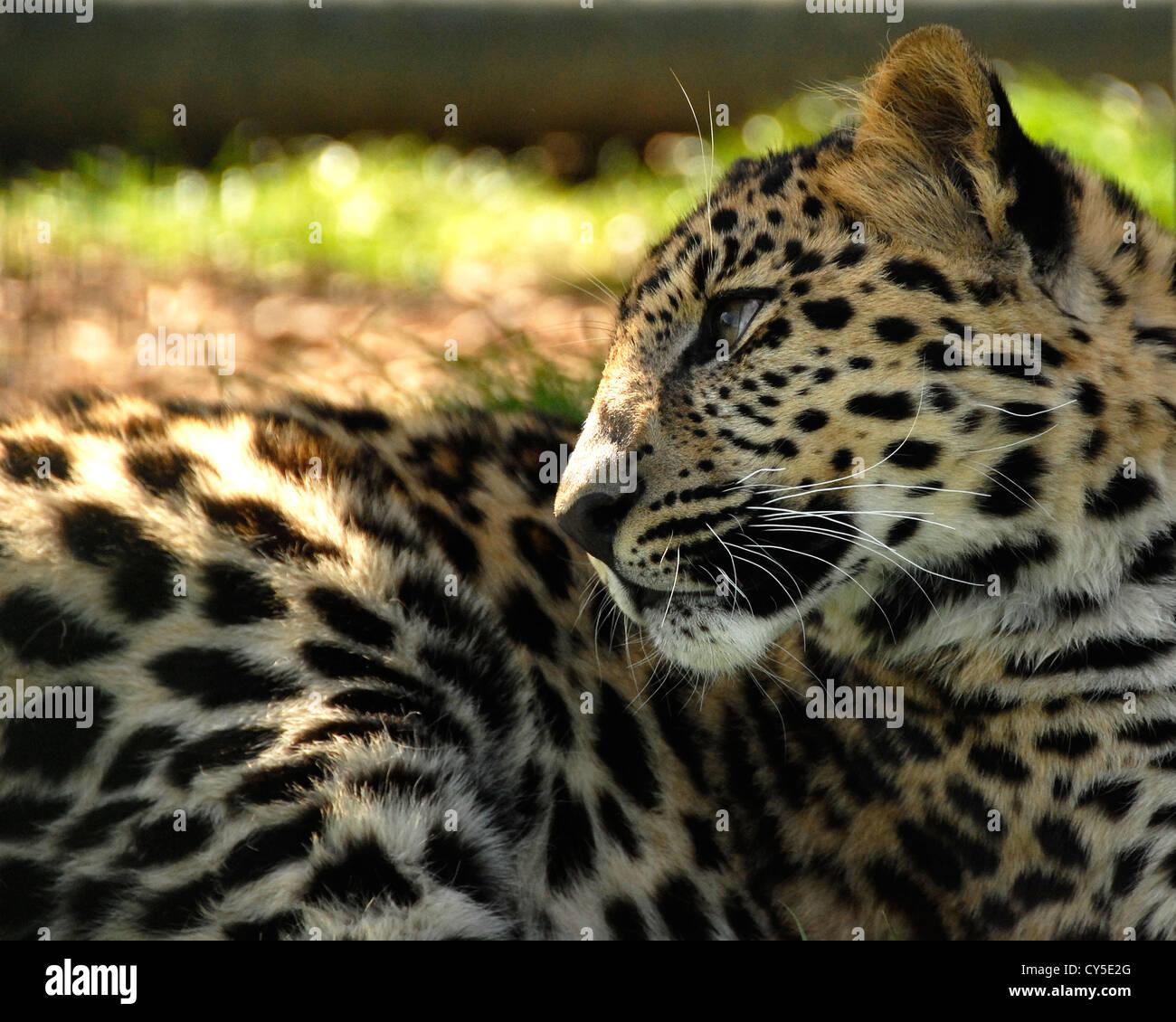 Closeup of Amur Leopard lying down - Stock Image