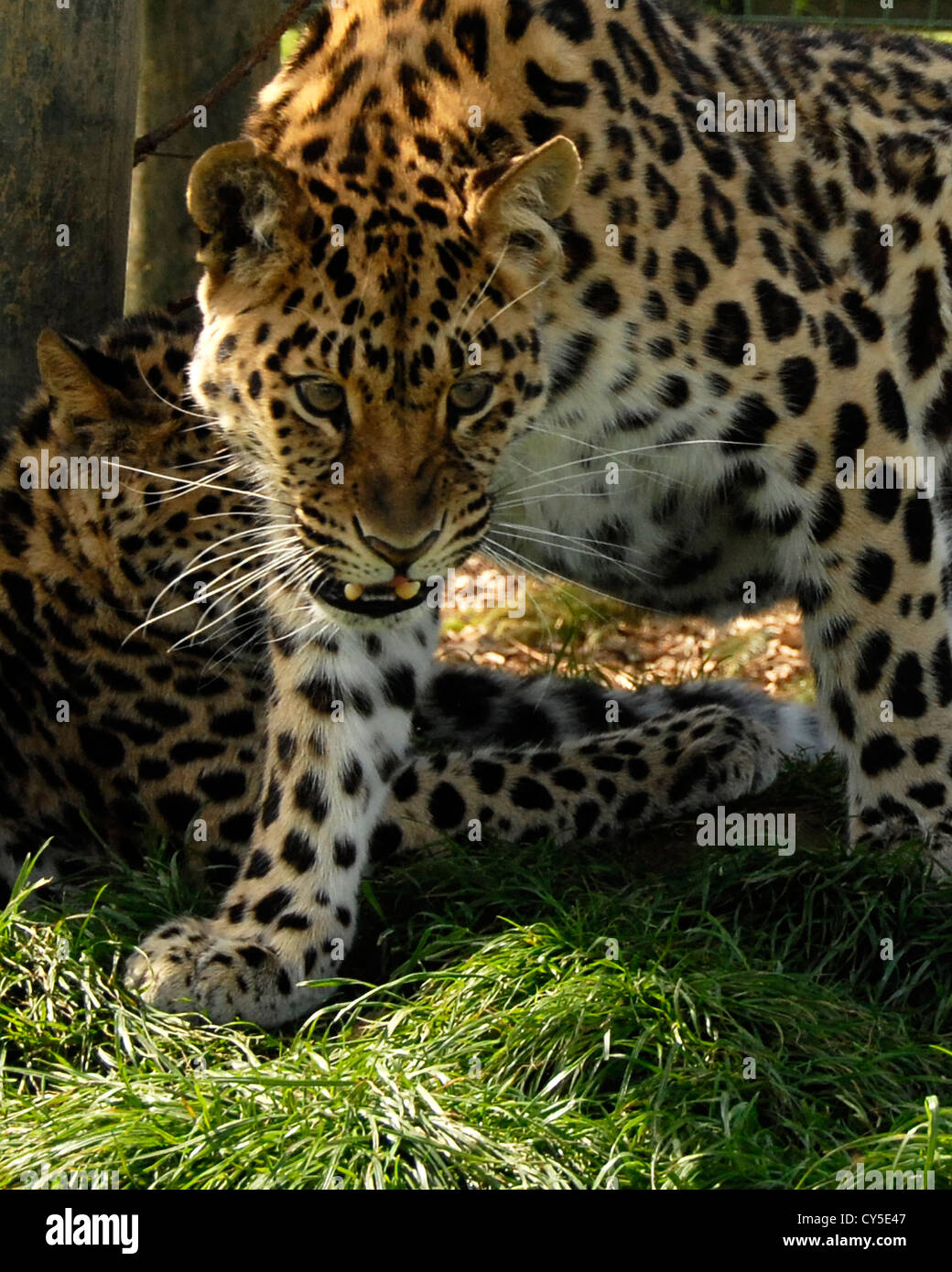 Two Amur Leopards, foreground leopard is growling - Stock Image