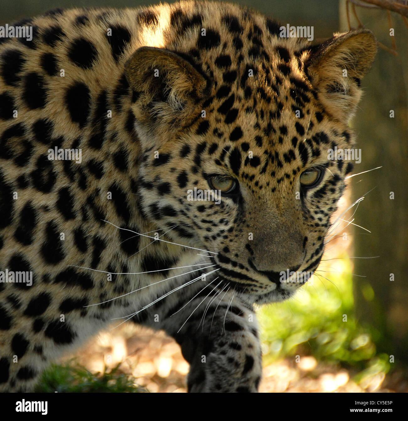 Amur Leopard close up walking and looking toward camera - Stock Image