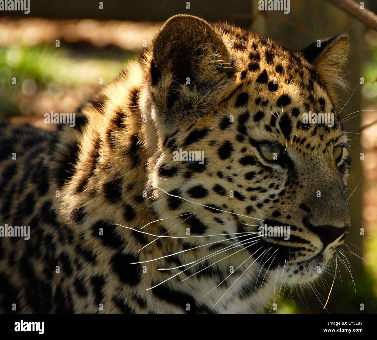 Amur Leopard close up - Stock Image
