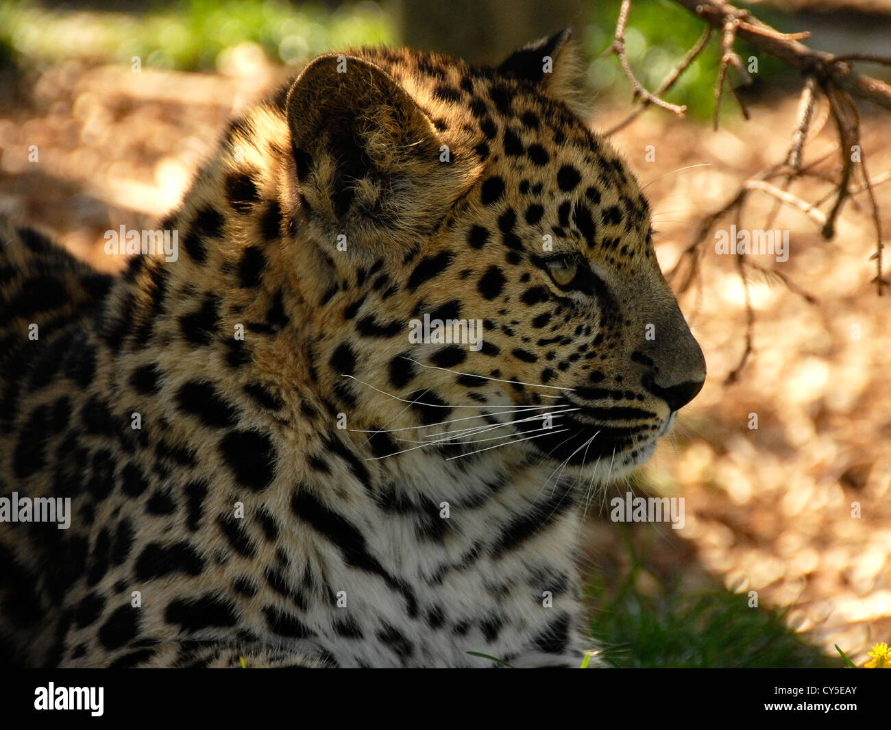 Amur leopard Close up looking to the right - Stock Image