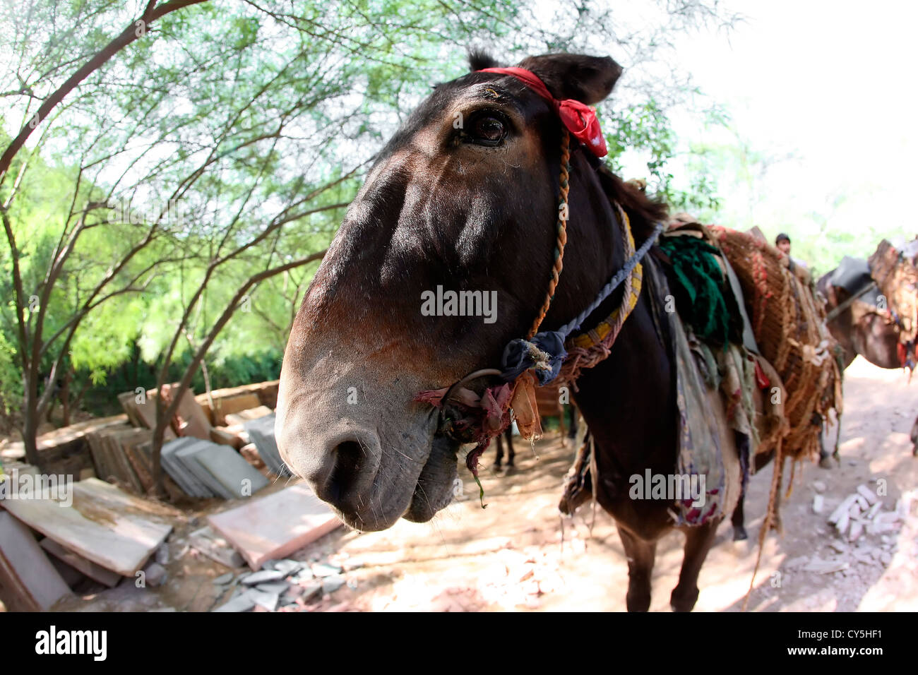 DONKEY,domesticated,animal,'beast of burden','draft animal','draft animalS' - Stock Image