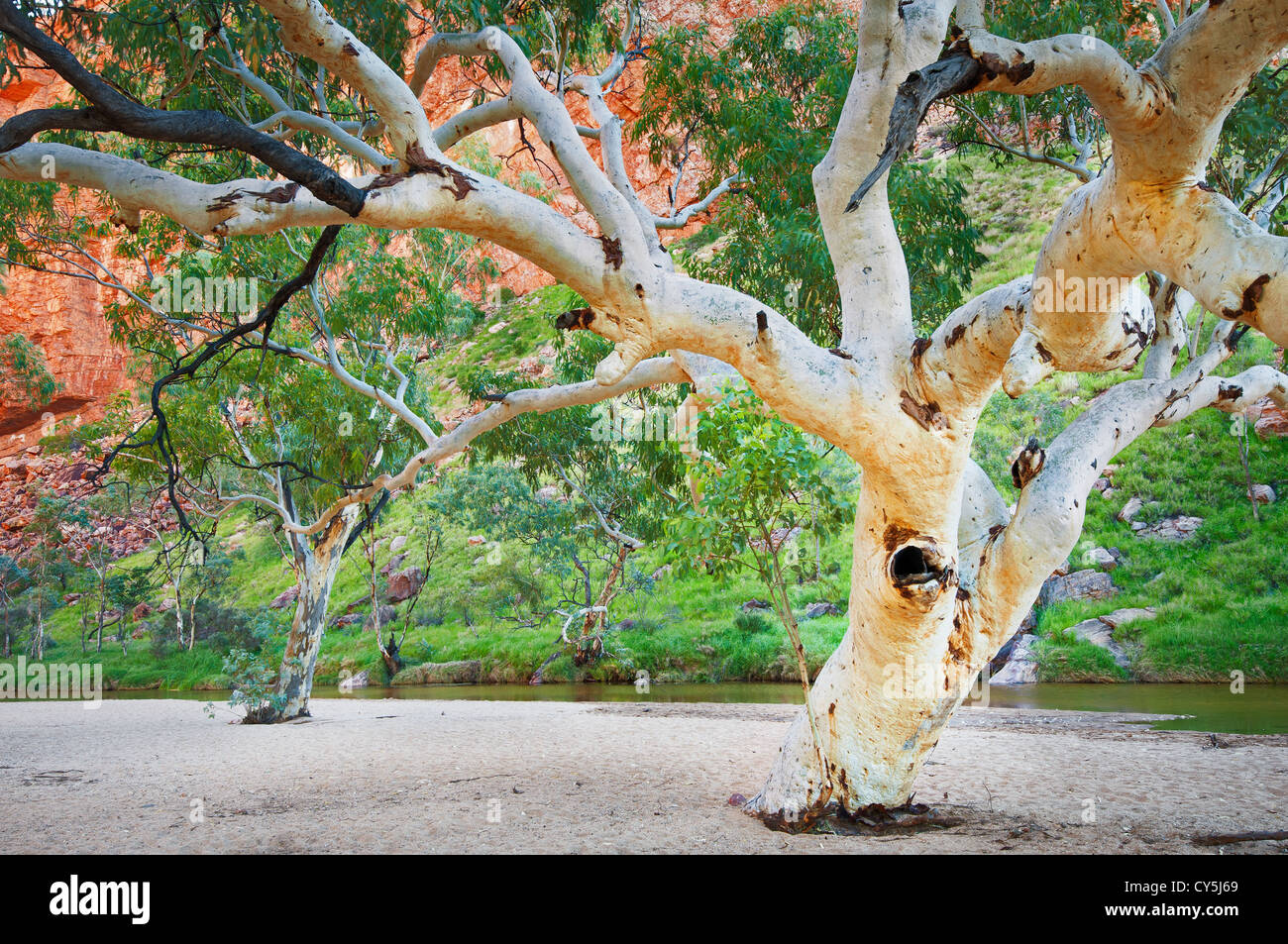 River Red Gums in Simpsons Gap. - Stock Image