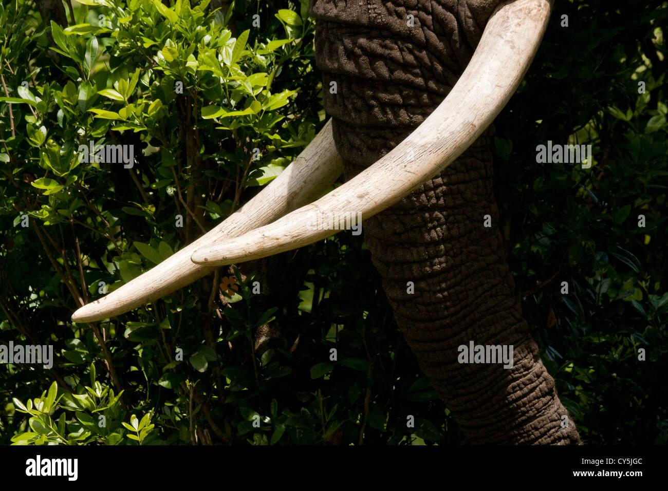 African Bush Elephant (Loxodonta africana) in close to Tusks on the Masai Mara National Reserve, Kenya - Stock Image