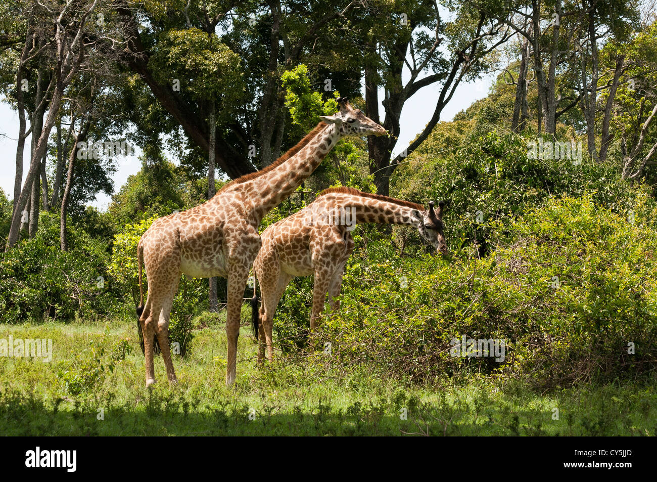 Two Male Masai Giraffe (Giraffa camelopardalis tippelskirchi) eating bushes on the Masai Mara National Reserve, - Stock Image