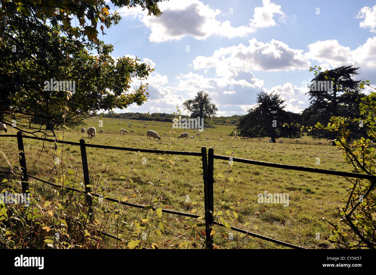 English countryside scene, mature trees framed by old iron fence looking over field with sheep grazing - Stock Image