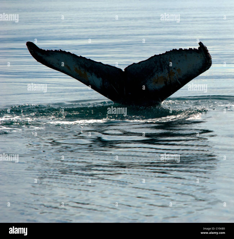 Whale's tail, Husavik Iceland Stock Photo