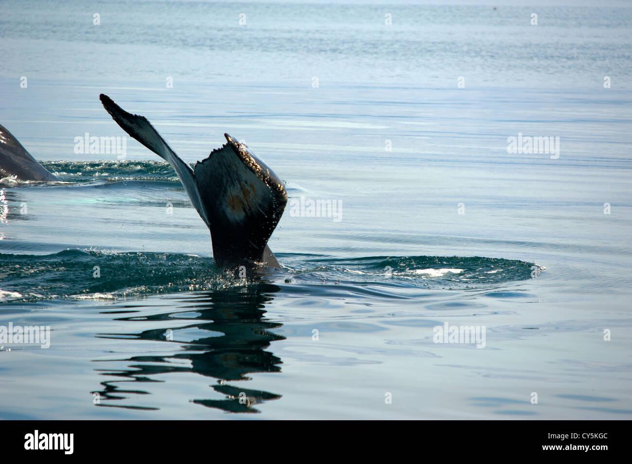 Whale's tail, Husavik Iceland - Stock Image