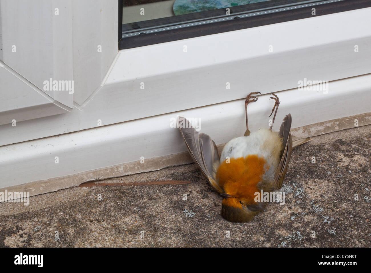 Robin (Erithacus rubecula)  Glass window casualty  Bird flew into
