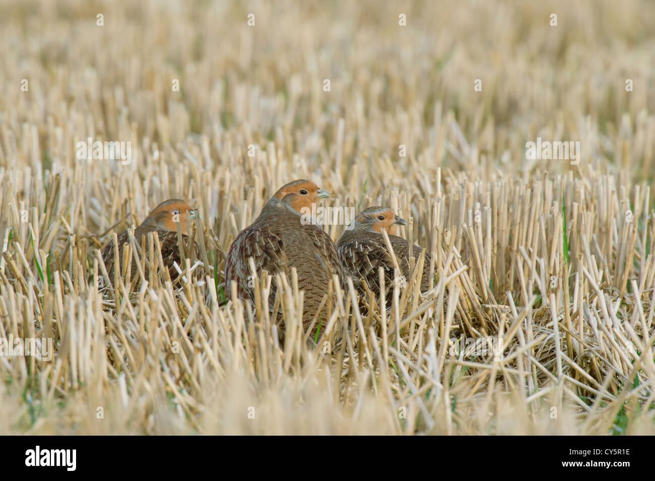 Grey Partridge(Perdix perdix) family in a Norfolk stubble field. - Stock Image