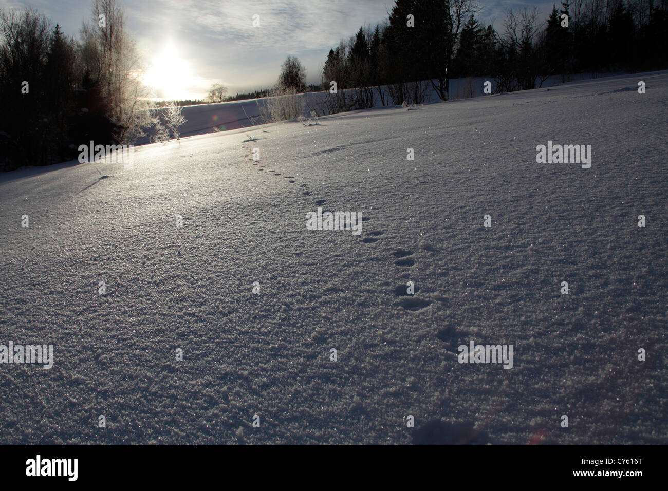 Marten tracks leading over a snow-covered meadow - Stock Image