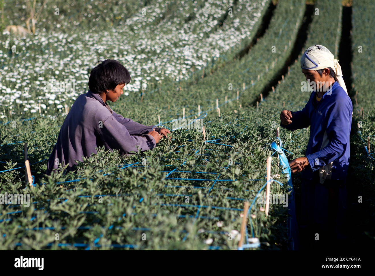 Farmers in Cebu,Philippines cultivate flower seedlings - Stock Image