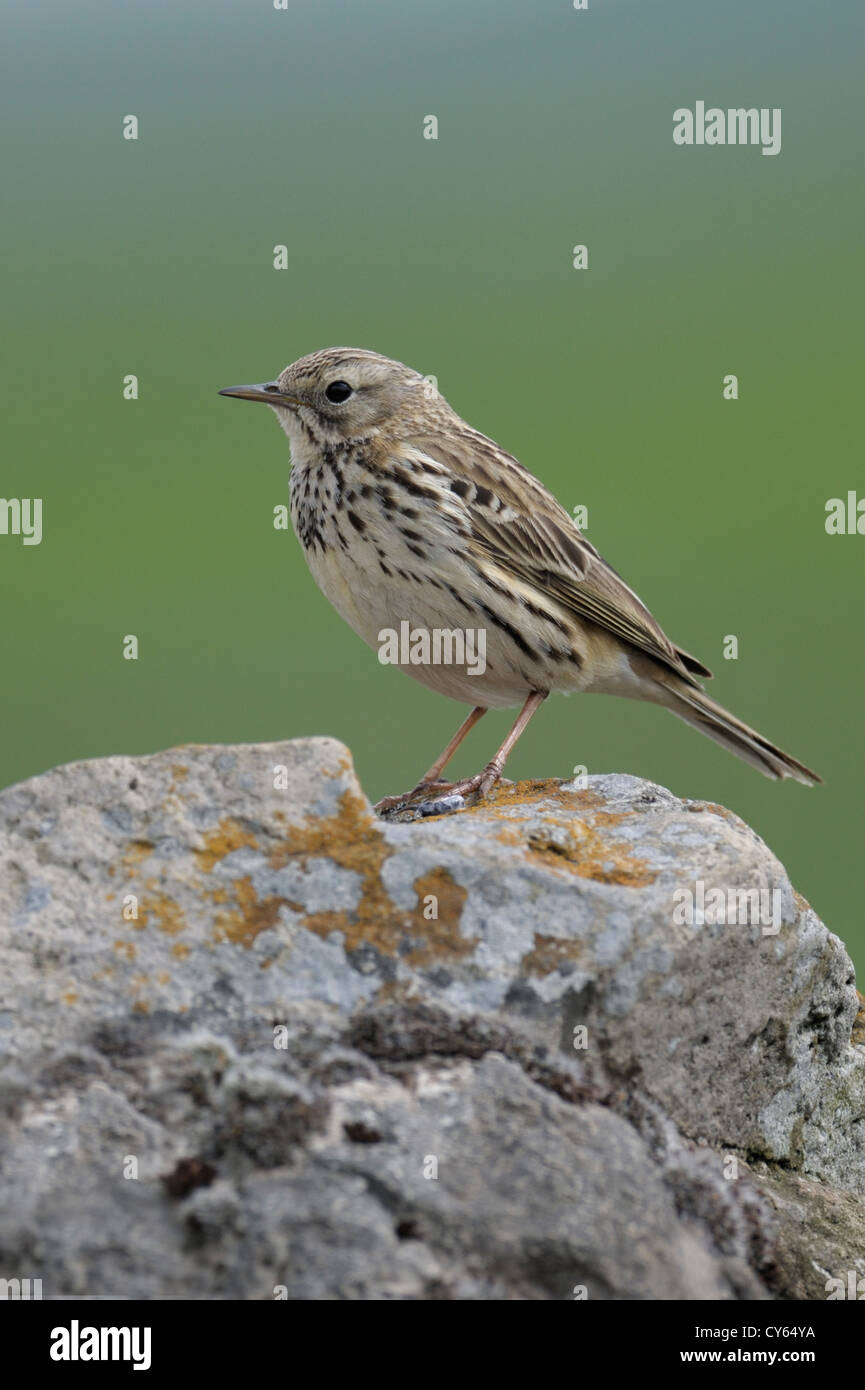 Meadow pipit (Anthus pratensis) Stock Photo