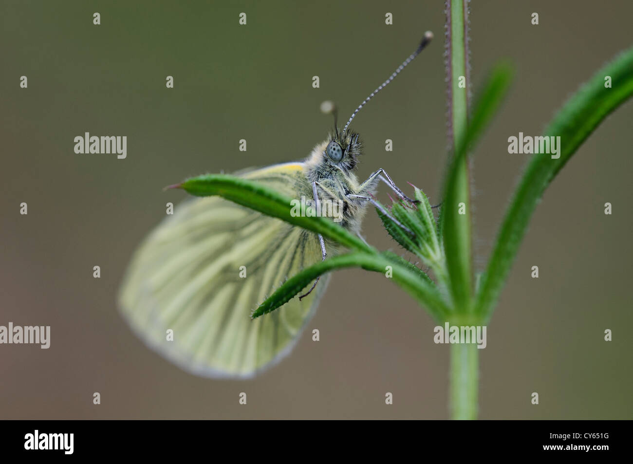 A green-veined white butterfly (Pieris napi) perched on vegetation at Priory Water Nature Reserve, Leicestershire. - Stock Image