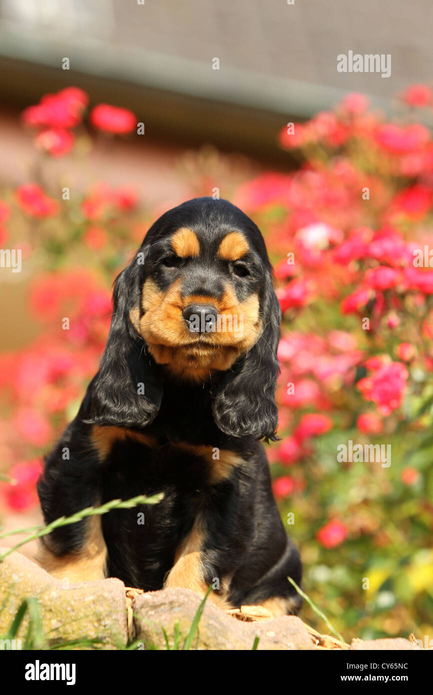 English Cocker Spaniel Puppy Stock Photo 51152680 Alamy