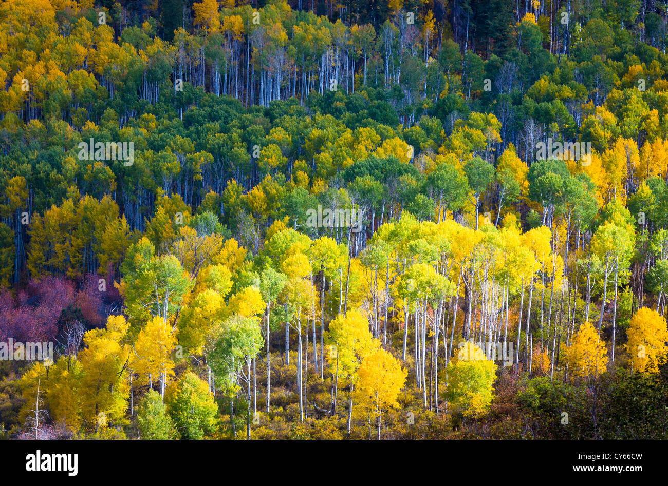 Aspens on hillside in the San Juan mountains of Colorado - Stock Image