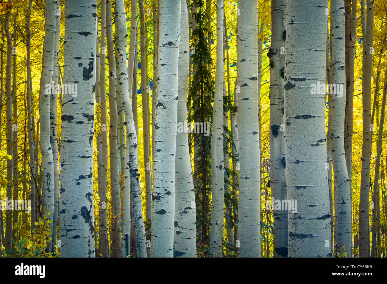 Aspen Trees In Fall Stock Photos & Aspen Trees In Fall Stock Images ...