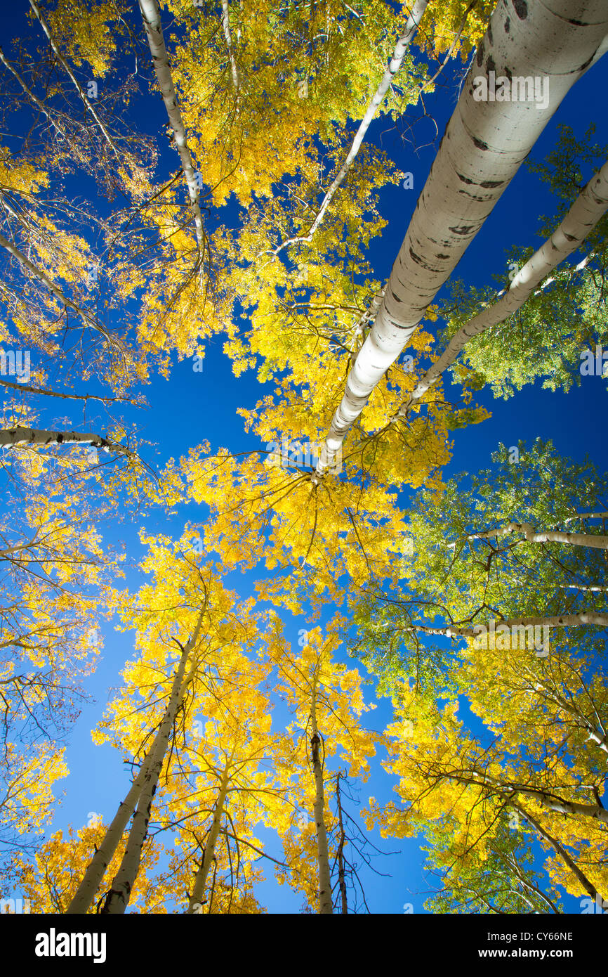 Aspen grove in fall colors in the San Juan mountains of Colorado - Stock Image