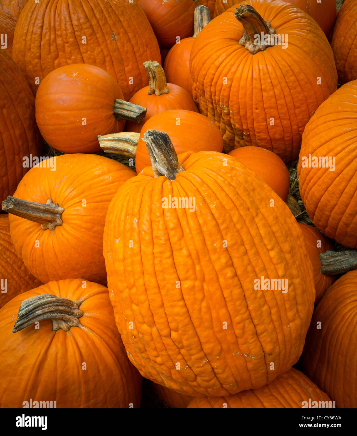 Pumpkins on a pumpkin patch at the Dallas Arboretum - Stock Image