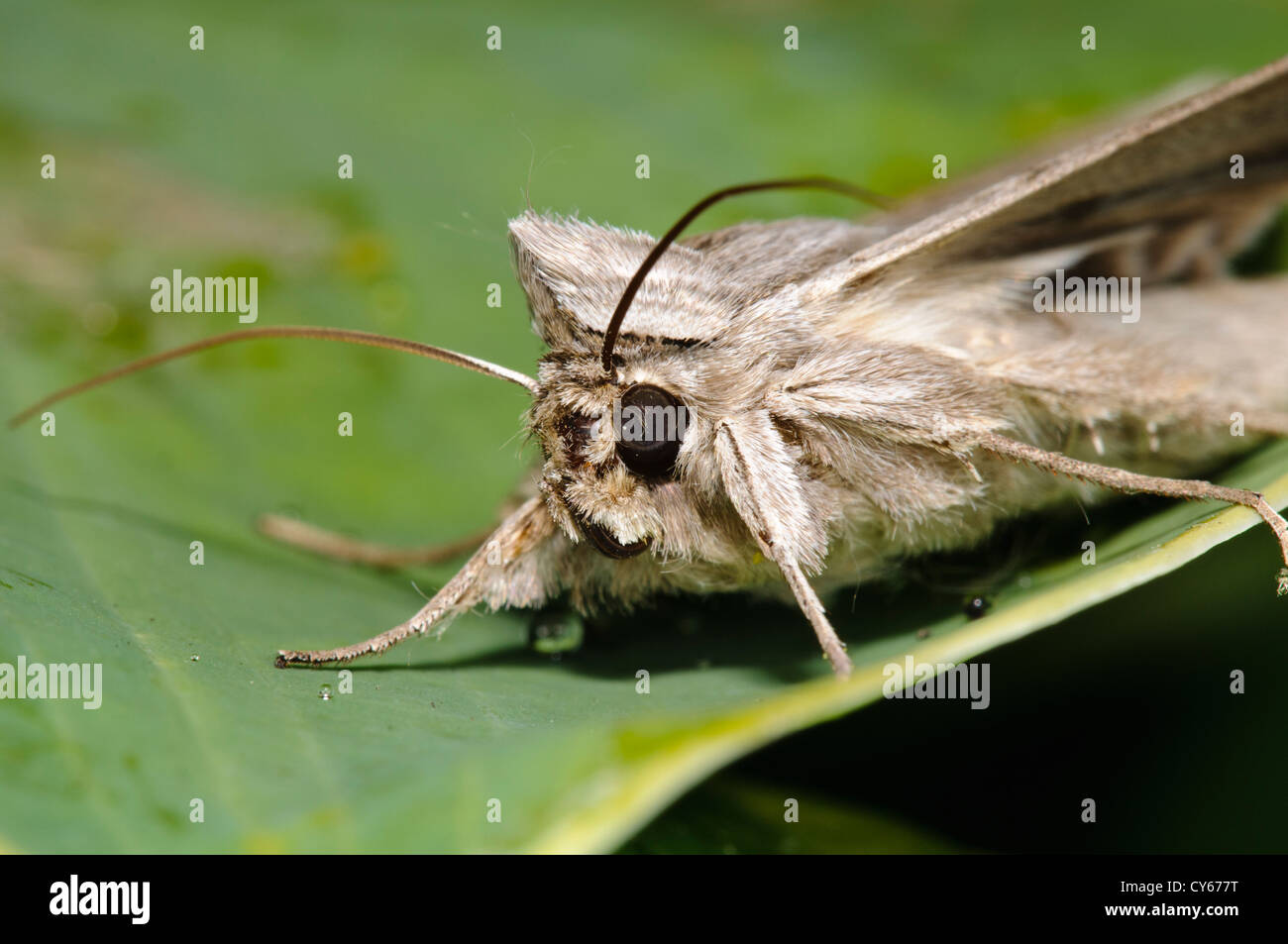 A close-up on the head of the shark moth (Cucullia umbratica) on a leaf in a garden in Belvedere, Kent. june. - Stock Image