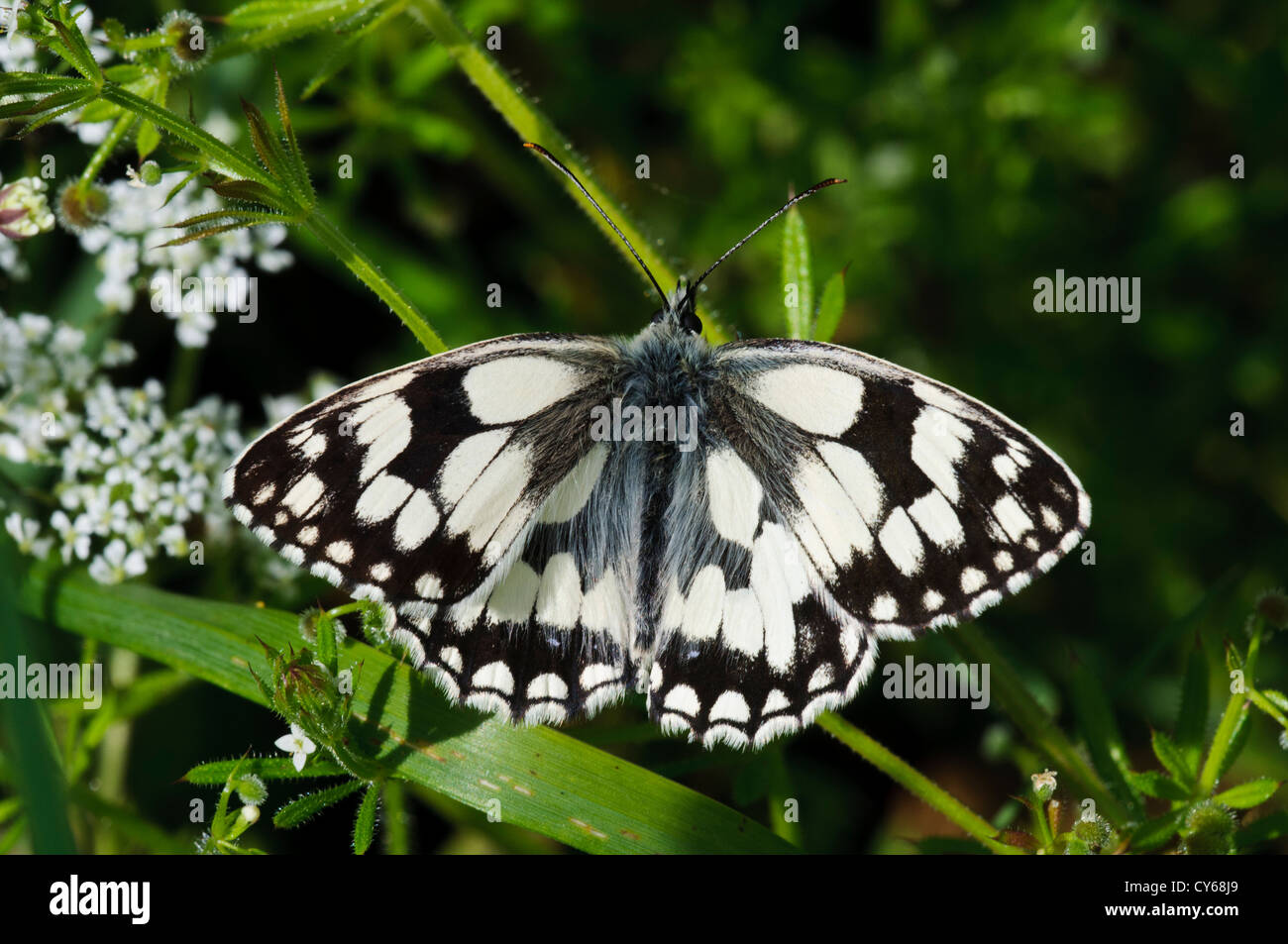A marbled white butterfly (Melanargia galathea) perched on vegetation at Ivinghoe Beacon, Buckinghamshire. june. - Stock Image