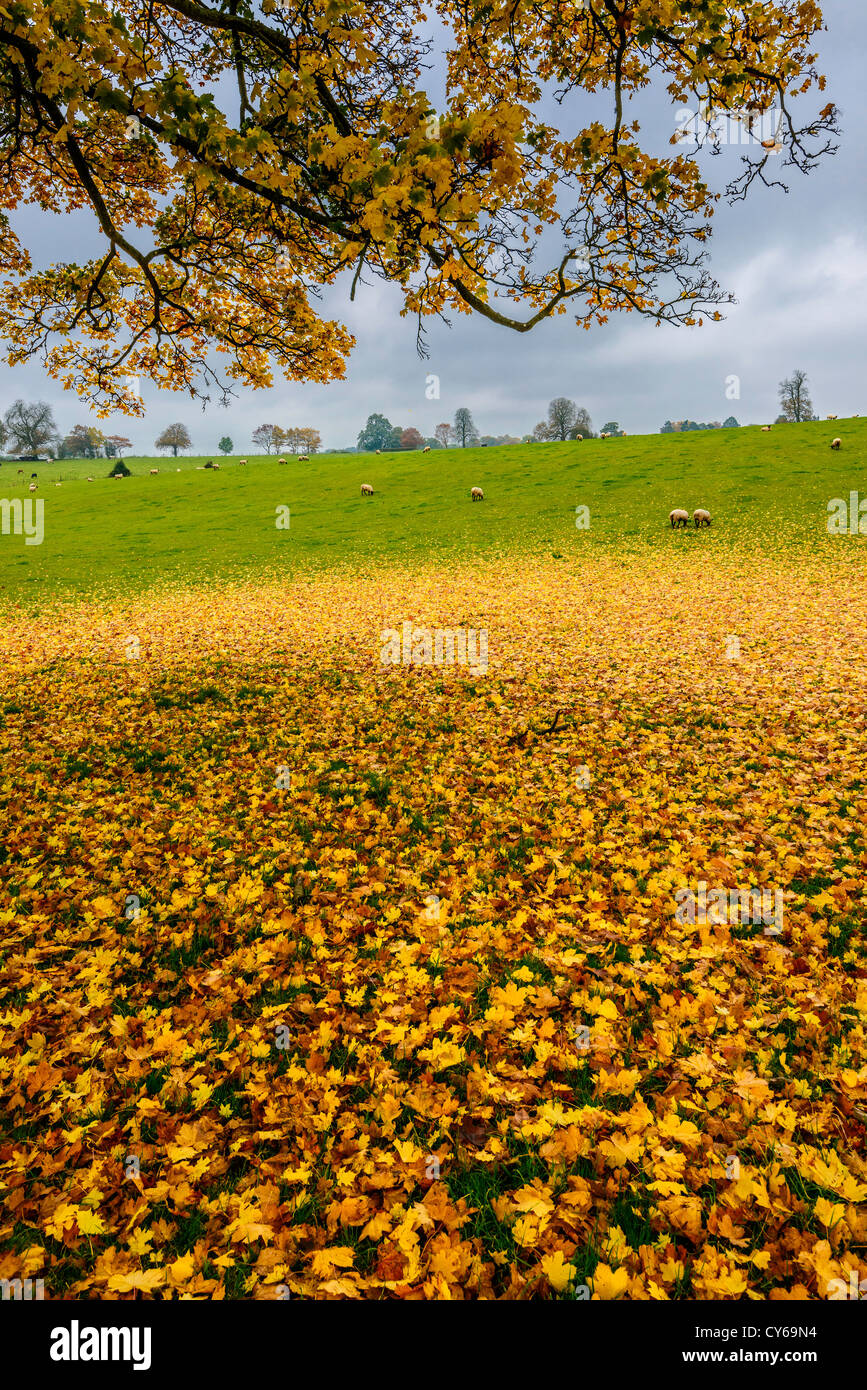 Fallen autumn leaves from sycamore tree in field with sheep in autumn, Howick Cheptsow Wales UK - Stock Image
