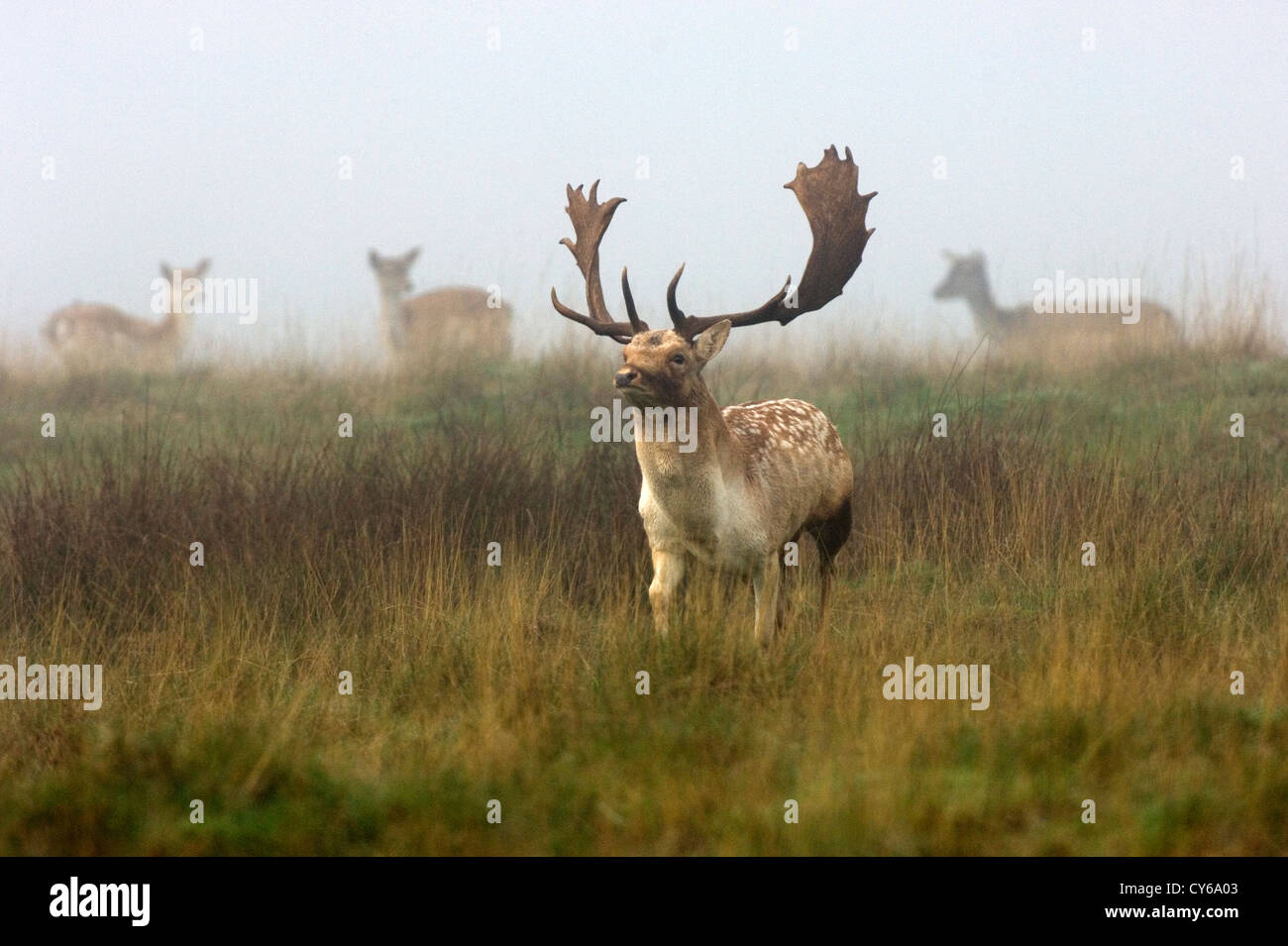 fallow deer cervus dama stock photo 51156003 alamy