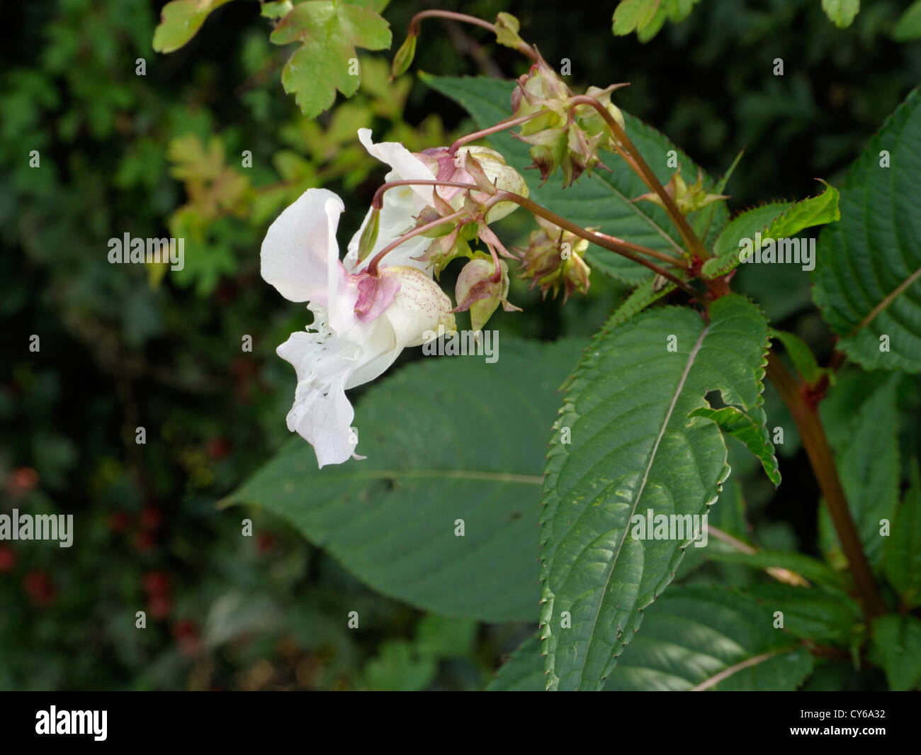 Indian or Himalayan Balsam, Impatiens glandulifera - Stock Image