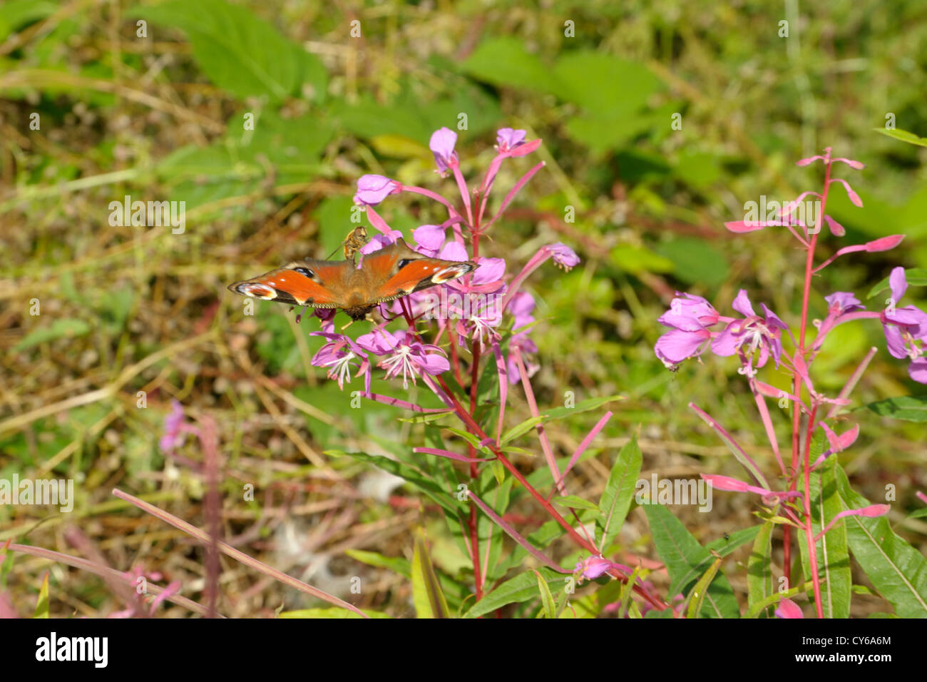 European Peacock Butterfly, Inachis io on Rosebay Willowherb - Stock Image