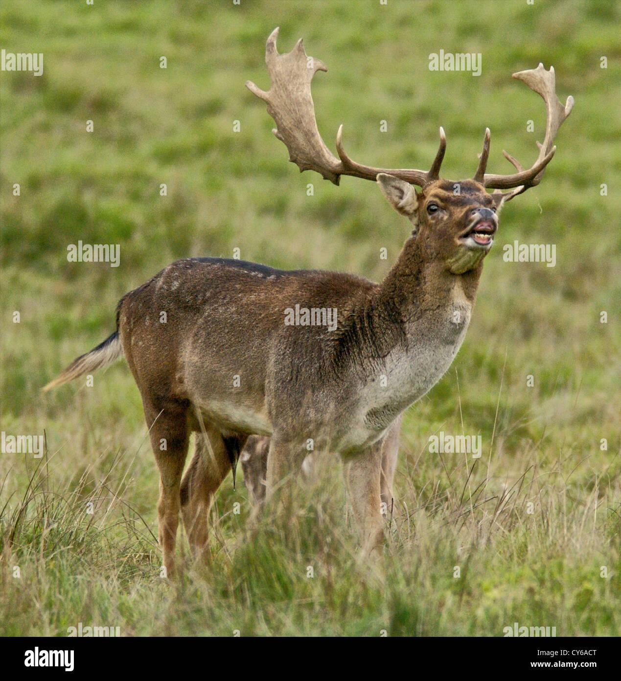 Fallow deer (Dama dama) buck in the rut in Autumn Stock Photo