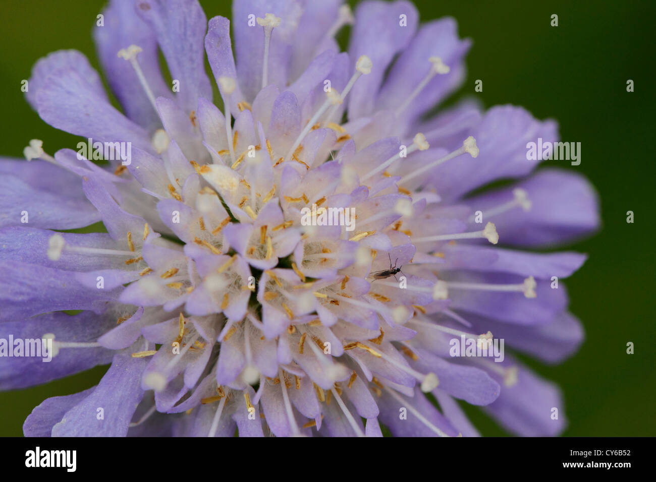 small scabious flower scabiosa columbaria, a perennial wild flower commony known as butterfly blue - Stock Image