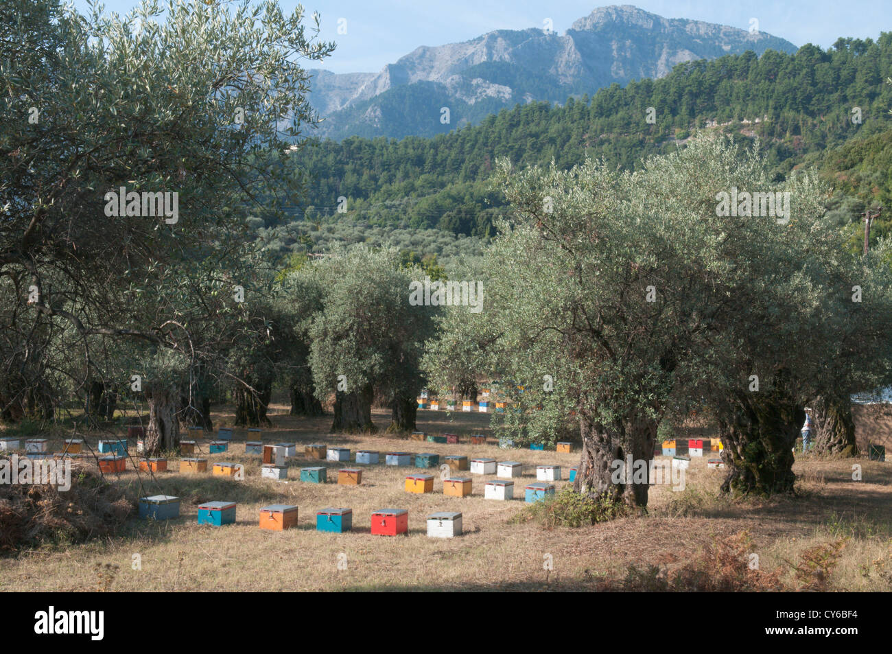 Thassos, Greece. Greek island. September. Beehives under olive trees near Panagia and Chrisi Ammoudia Stock Photo