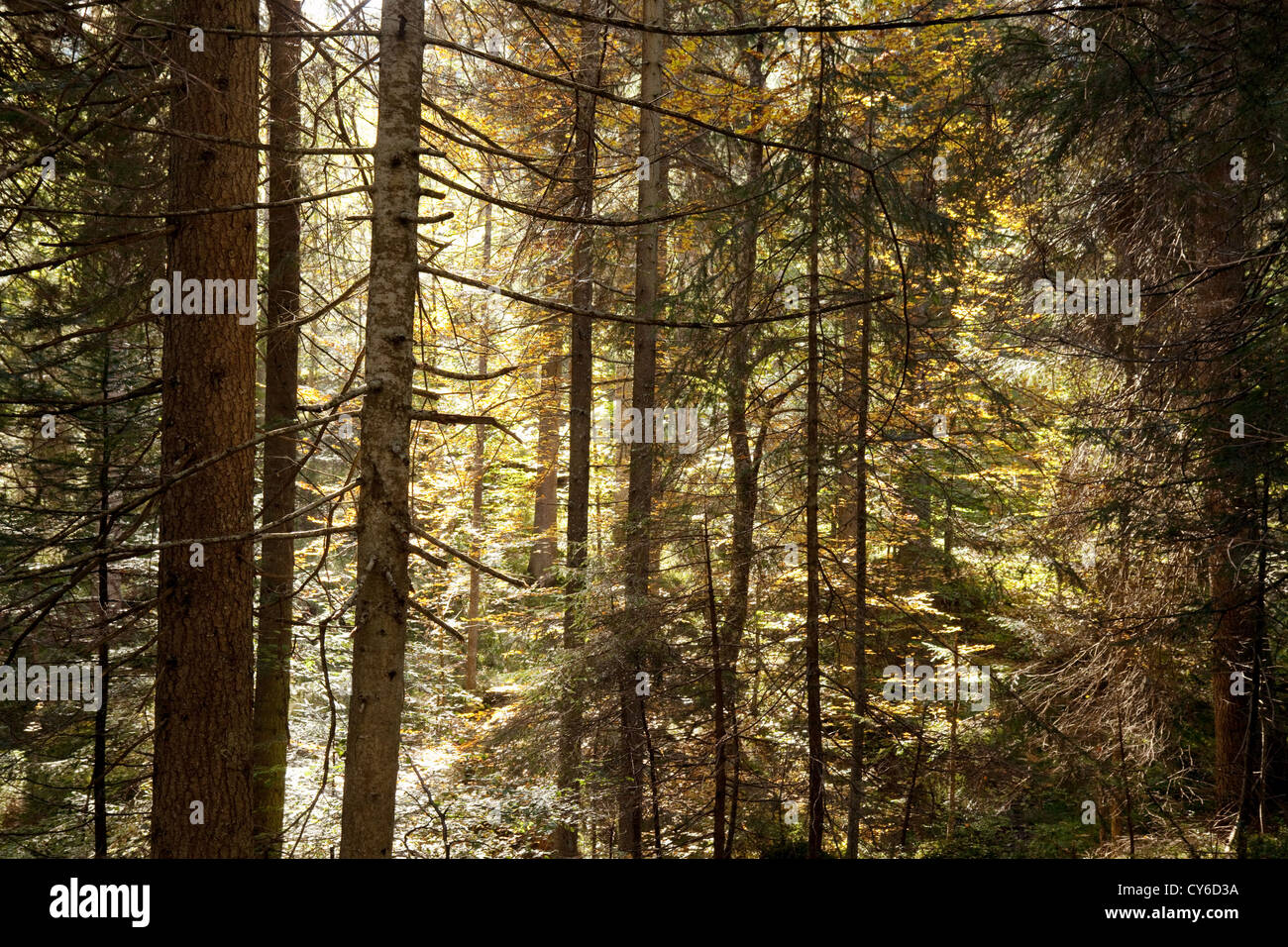 Sunlight filtering through coniferous pine trees in a forest , Switzerland Europe - Stock Image