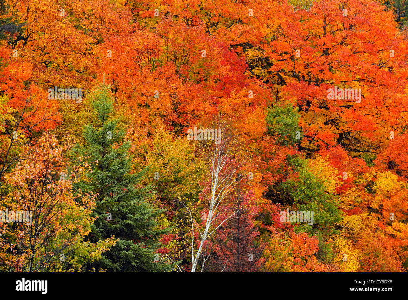Hillside of autumn maples and spruces, Algonquin Provincial Park, Ontario, Canada - Stock Image