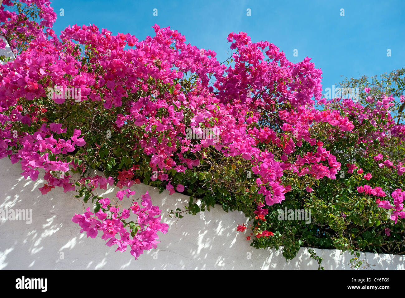 Bougainvillea, Algarve - Stock Image