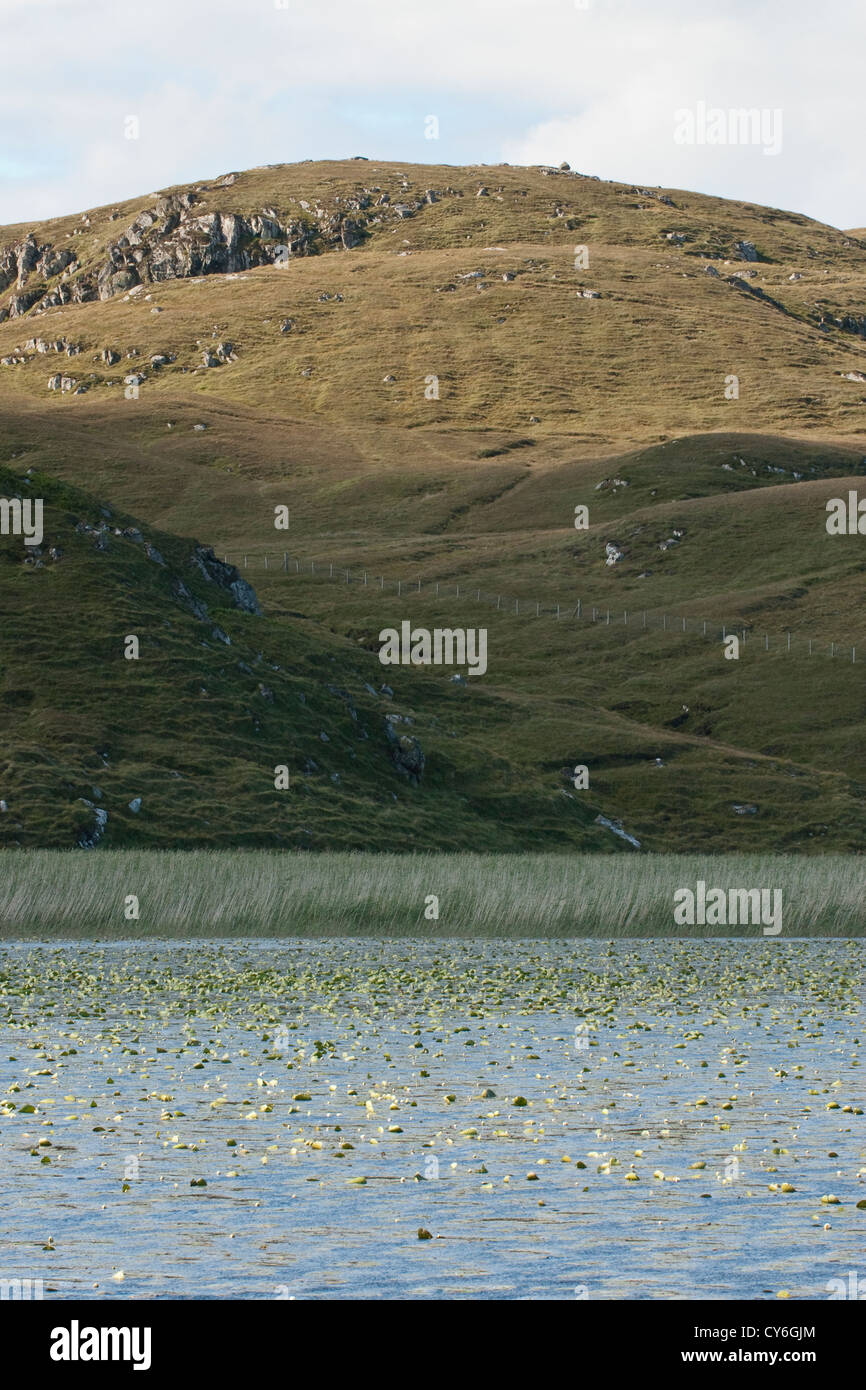 White Water Lilies in freshwater loch, NW Scotland - Stock Image