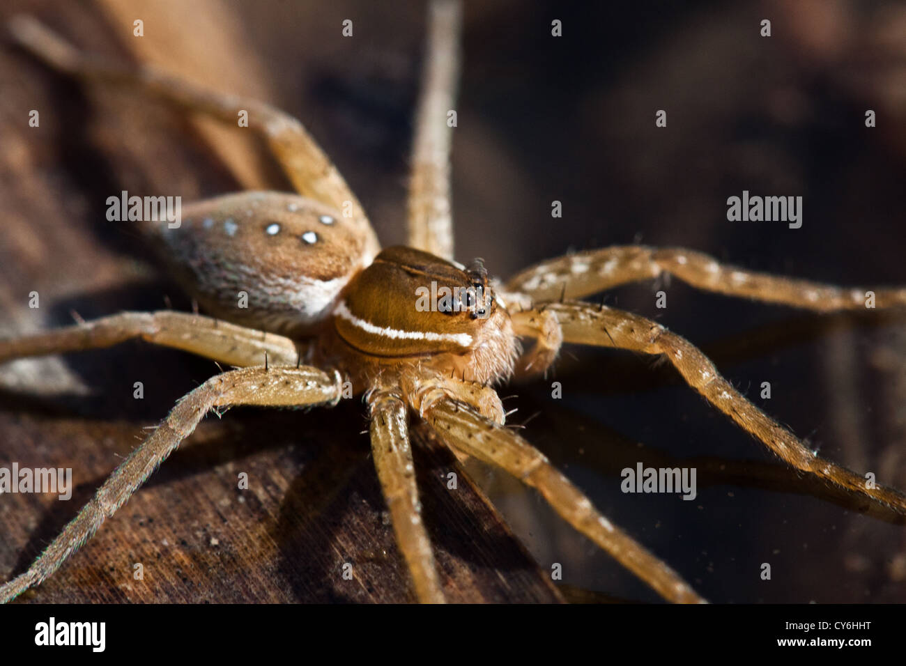 Six-Spotted Fishing Spider, Inniswoods Metro Gardens, Westerville ...
