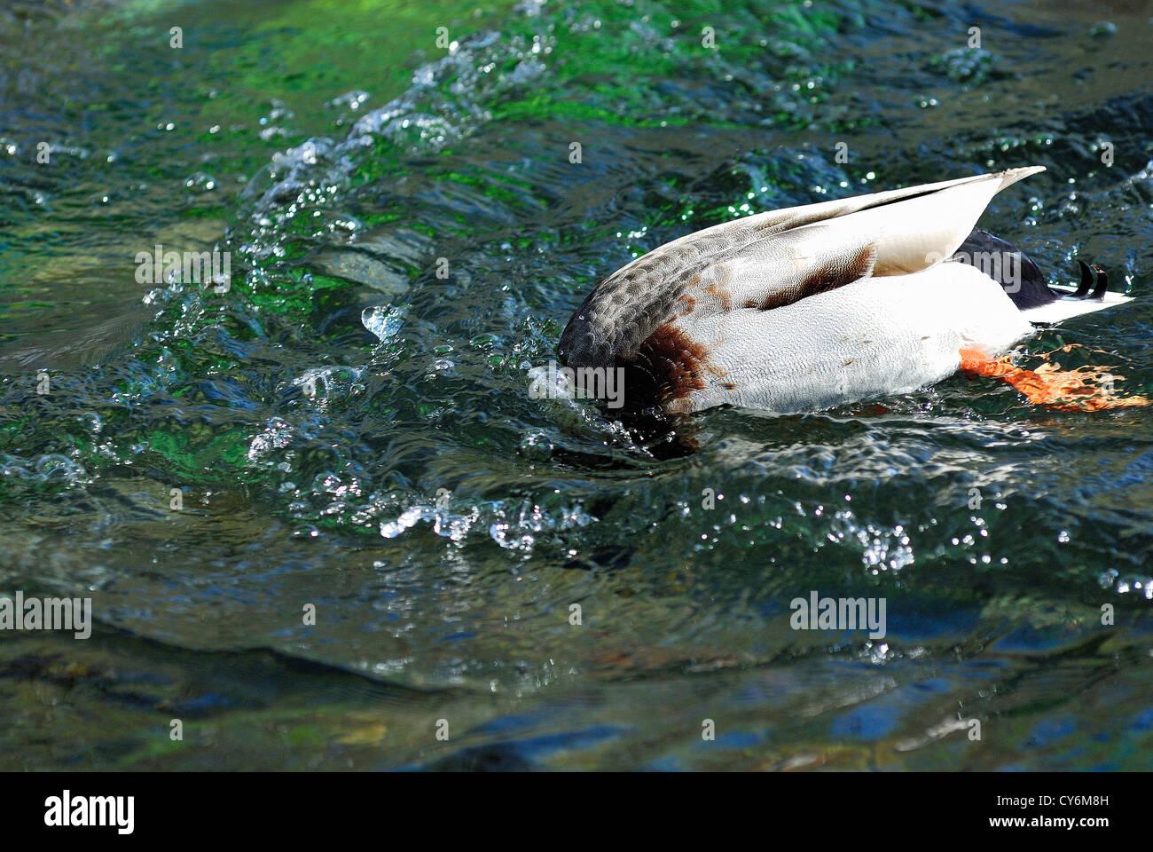 canard a col vert plongeant la tête sous l'eau Vaucluse Provence France 84 - Stock Image