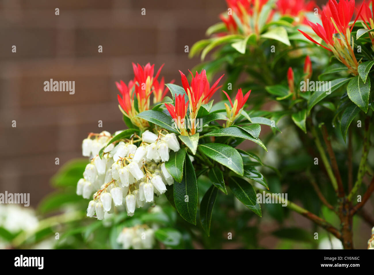 The white flower racemes and red new growth shoots of young leaves the white flower racemes and red new growth shoots of young leaves of pieris japonica forest flame flowering shrub mightylinksfo