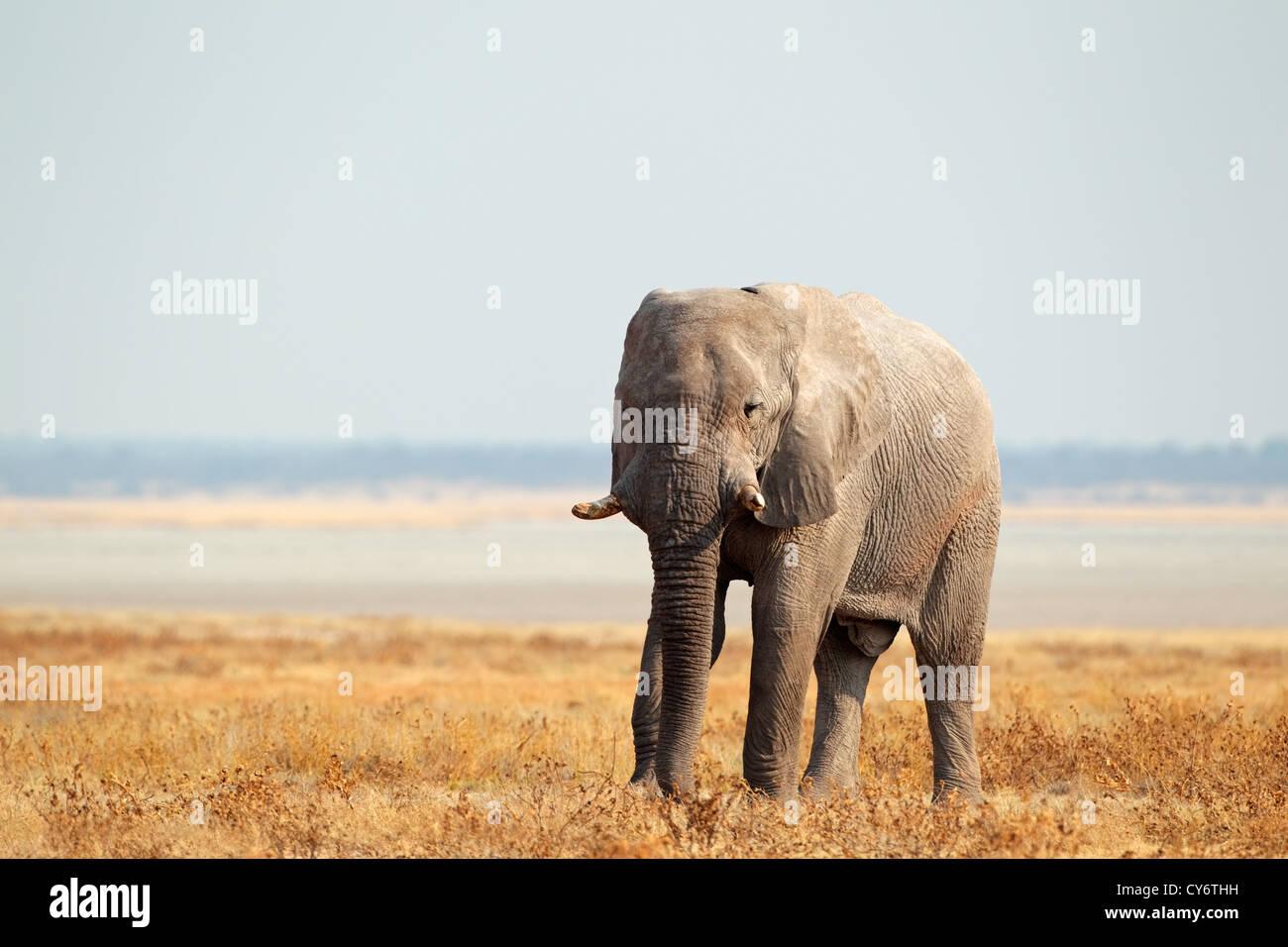 African elephant (Loxodonta africana) on the open plains of the Etosha National Park, Namibia, southern Africa - Stock Image