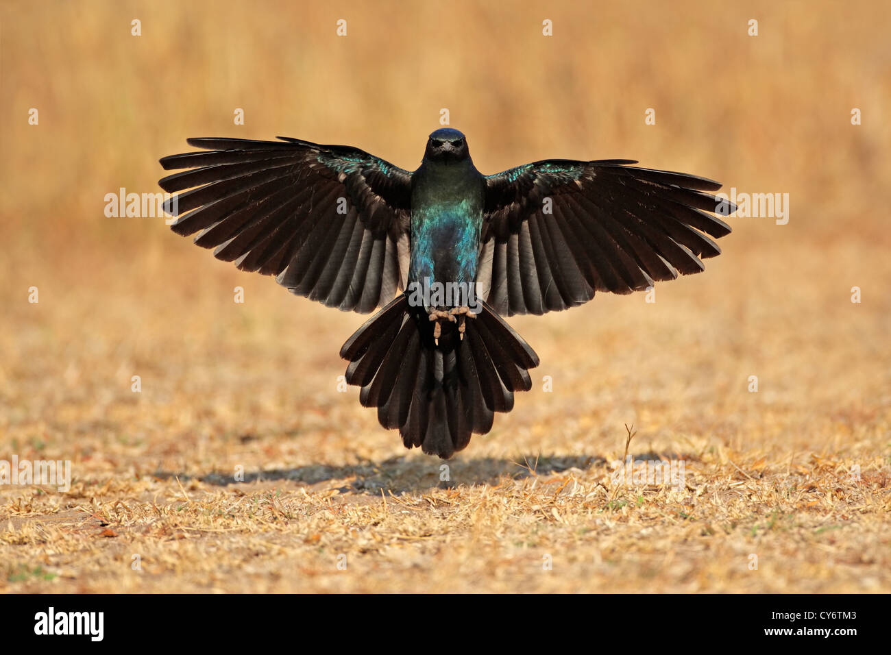 Burchell's starling (Lamprotornis australis) landing with outstretched wings, South Africa - Stock Image