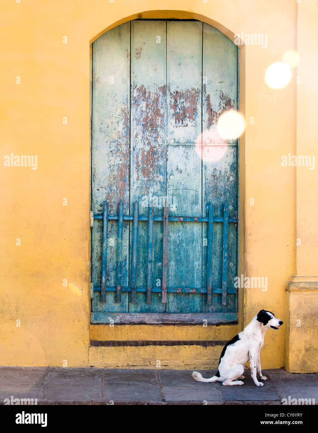 A small white dog sitting on the pavement in front of a faded bluey green wooden window in a bright ocher painted - Stock Image