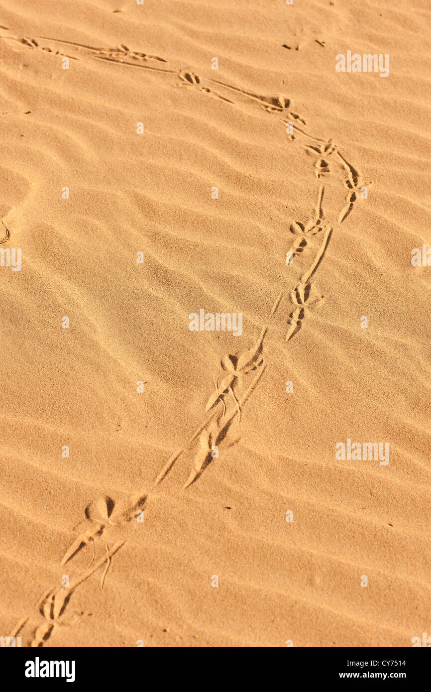 Traces from the clutches of birds on the sand - Stock Image