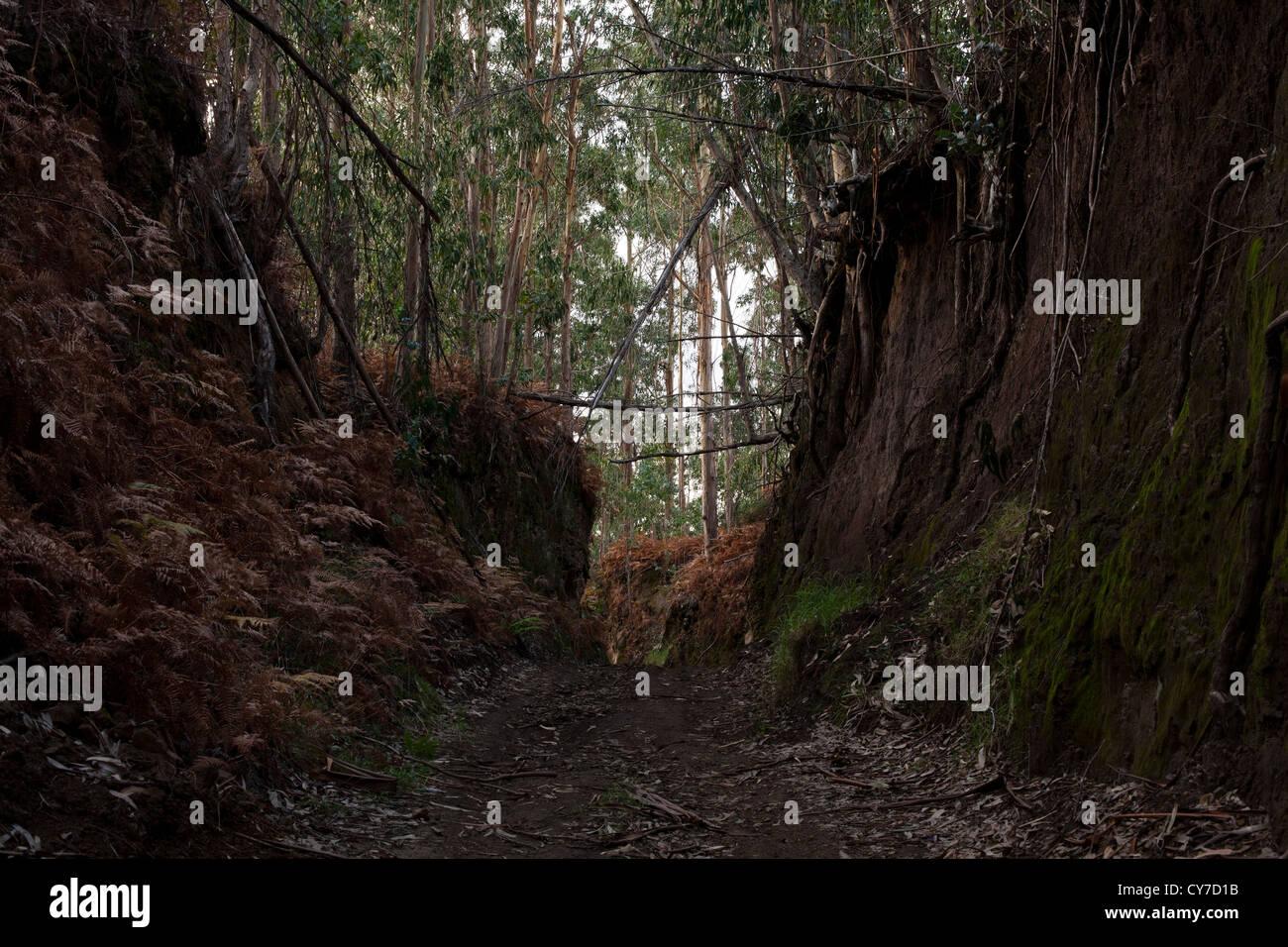 A deep cut dirt track through a eucalyptus plantation on the western side of Madeira island. - Stock Image