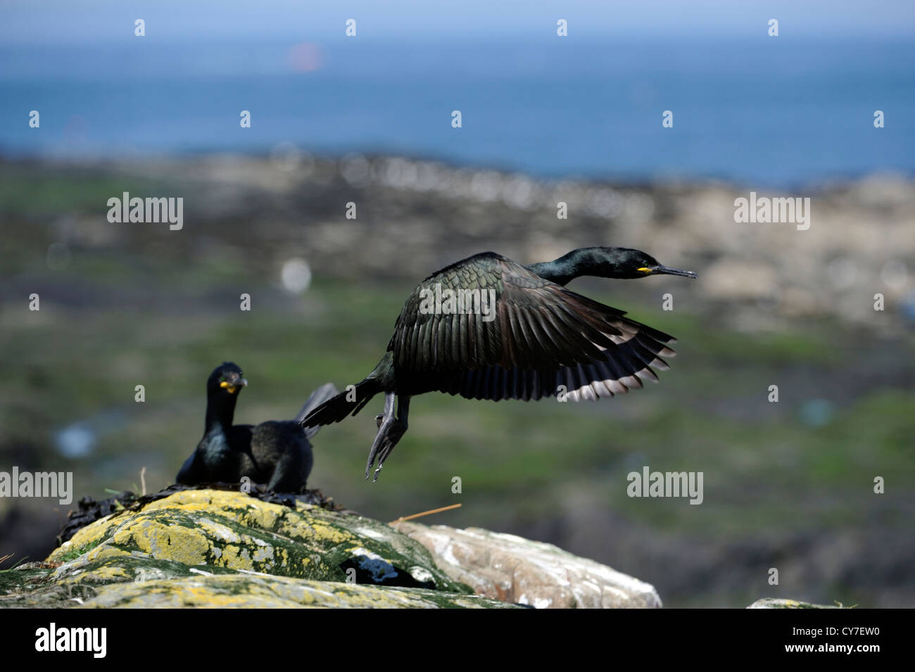 European shag (Phalacrocorax aristotelis) - Stock Image