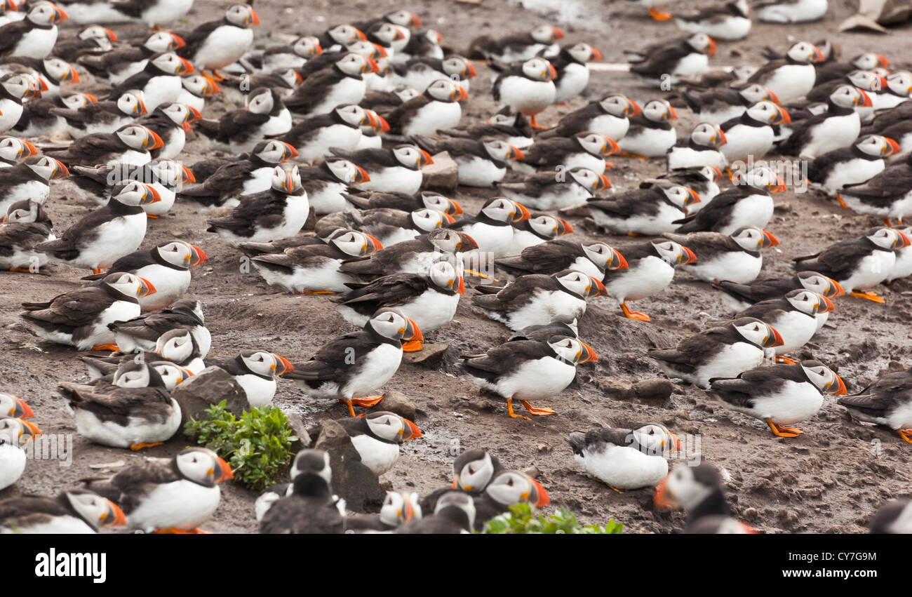 Puffins sheltering on a stormy day, UK - Stock Image