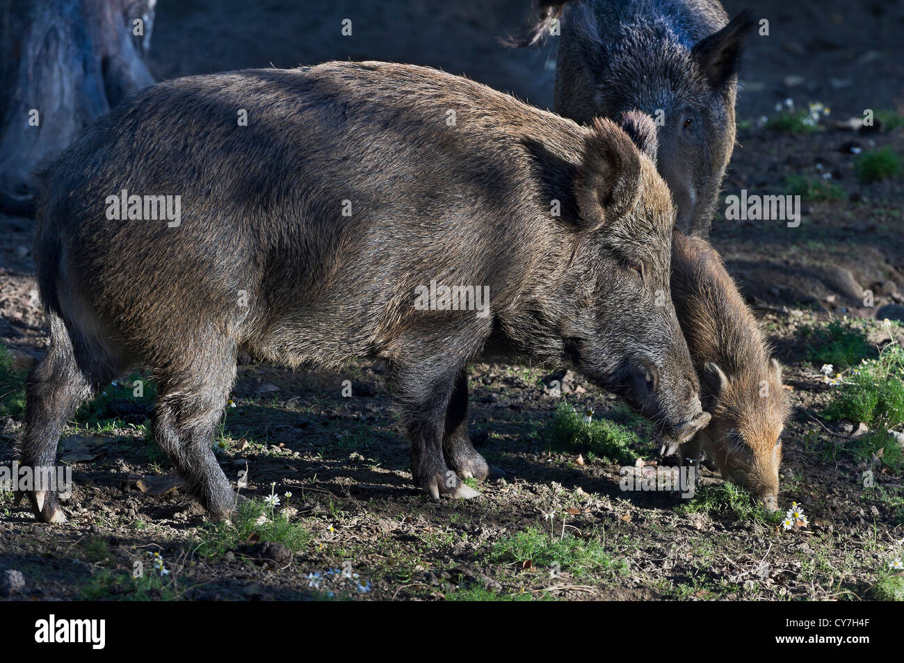 wild boars, Introd, Aosta valley, Italy - Stock Image