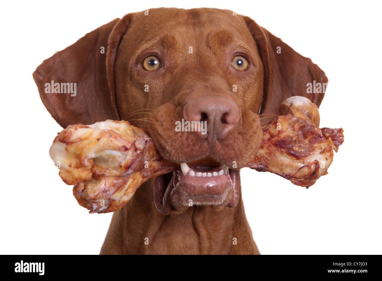 dog holding natural bone in mouth on white background - Stock Image