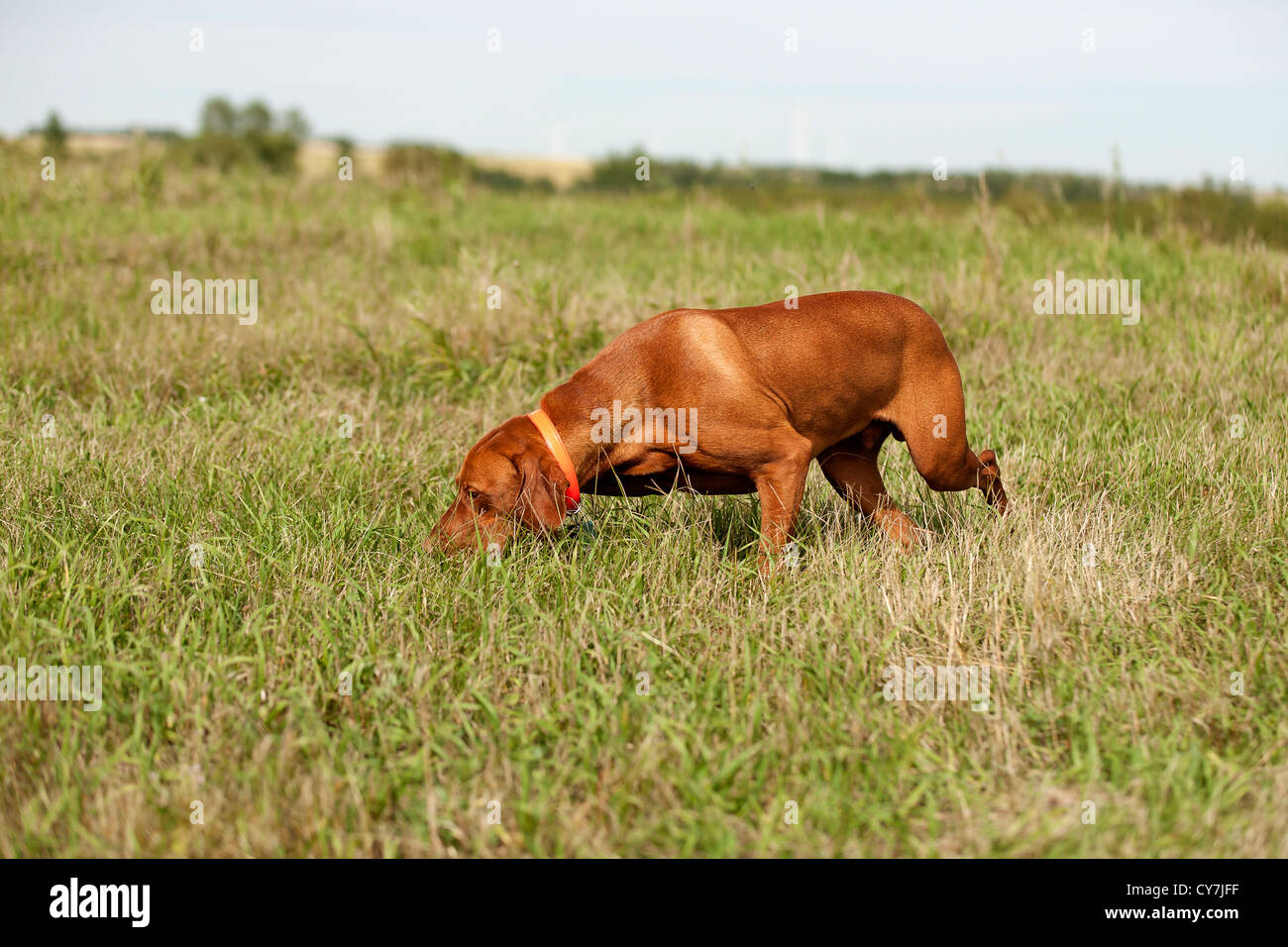 pointing dog performing field search - Stock Image